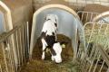 Білки сухого знежиреного молока тварини перетравлюють на 96%