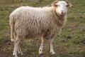 Вівчарі хотіли б знати, які з порід овець сьогодні є цінними