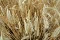 Урожайність жита цього року на 14% вища від минулорічної