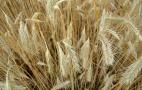 Ціни на жито за тиждень опустилися на 14%