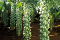 Брюссельська капуста дає виручки до 900 тис. грн/га