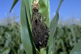 Спрогнозовано розвиток летючої сажки на кукурудзі