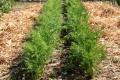 Для успішного вирощування моркви критично важливою є підготовка ґрунту –- фермер