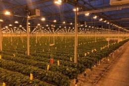 Нідерландські тепличники вирощують три найзатребуваніші сорти полуниць