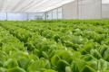 Голландець вирощує салати на Сумщині
