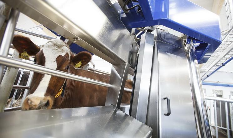 Роботи-дояри вписуються у структуру більшості ферм без реорганізації чи побудови нових приміщень