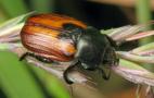 Встановлено зони з підвищеним рівнем шкідливості хлібних жуків