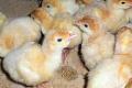 «Пан Індик» застосовує індивідуальну схему вакцинації птиці