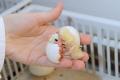 Зі збільшенням віку курей знижується маса шкаралупи яєць