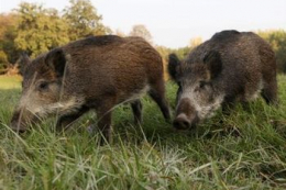 У Сербії стався спалах АЧС у диких кабанів