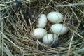 За виробництва білих невеликих яєць відбувається менше викидів аміаку в повітря