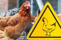 На Київщині у приватному секторі стався спалах грипу птиці