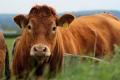Виникнення кетозу в корів пов'язано з особливостями раціону