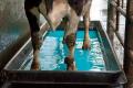 «Велетень» робить копитні ванни для молочного поголів'я двічі на тиждень