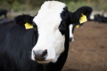 «Аграрна компанія 2004» задоволена ефектом від імуностимуляційного препарату для корів