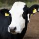 На підприємствах «Сварог Вест Груп» надоїли майже 22,5 тис. тонн молока