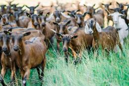 На експорті живих овець і кіз у І кварталі Україна заробила на 81% менше
