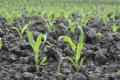 Кукурудза потребує значно вищих норм добрив, ніж інші зернові культури