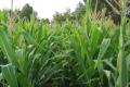 Кукурудза може постраждати від зафосфаченого ґрунту