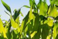 Фосфорні добрива мають позитивний ефект на зафосфаченому ґрунті