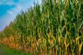 Вирощувати кукурудзу в монокультурі на більшості українських земель можна максимум 3-5 років, – вчені