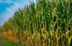 В A.G.R. Group майже 75% площ цього року відвели під кукурудзу
