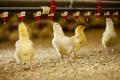 Бройлери, вирощені на соломі, мали нижчу живу масу проти курчат, утримуваних на тирсі