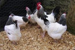 В індивідуальних господарствах Вінниччини не виявлено  грипу птиці