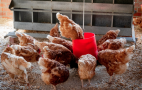 Поголів'я птиці протягом 2019 року зросло на 3,6%