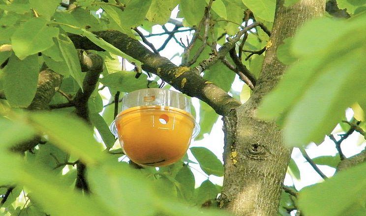 Пастки для горіхової мухи – простий спосіб боротьби зі шкідником