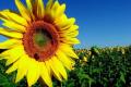 Кліматичні зміни впливають на розширення посівів соняшнику в Україні