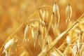 В Agricom Group засіяли вівсом 1,7 тис. га
