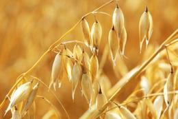 Як спосіб збирання вівса впливає на обсяги втрат урожаю