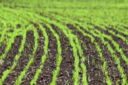 Через відсутність опадів Херсонщина може втратити до 50% урожаю озимих