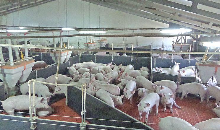 Як лікувати стрептококові інфекції у свиней