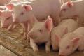 Свині й кури не уражуються SARS-CoV-2, – німецькі вчені