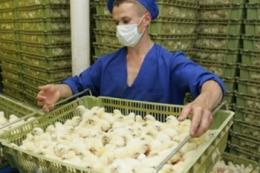 МХП запевняє, що контролює ситуацію з грипом птиці на своїх підприємствах