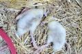 В Україні зафіксовано спалах ріемерельозу серед качок