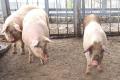 Живець свиней подешевшав до 45,6 грн/кг