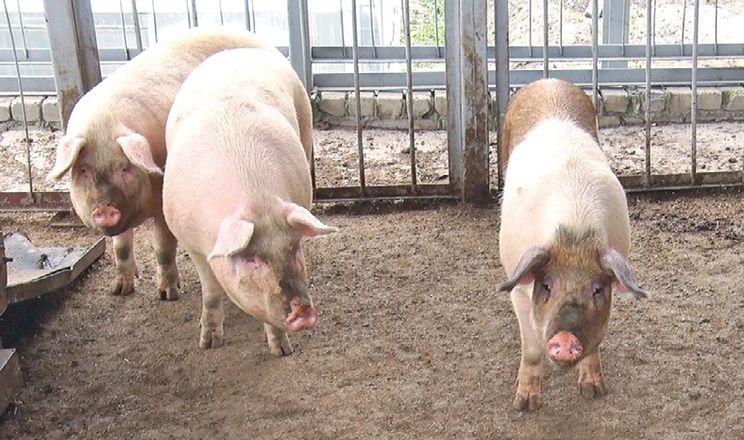 Ринок живця свиней: усе стабільно