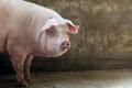 Середня ціна на живець свиней склала 43 грн/кг