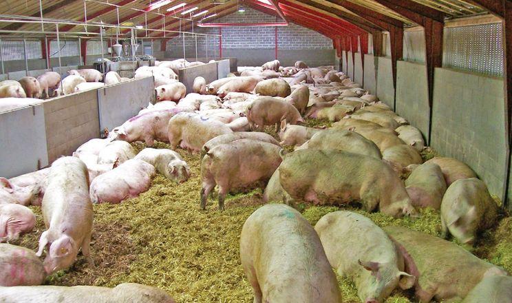 Як організувати годівлю поросних свиноматок у групах