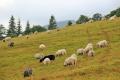 Поголів'я овець і кіз за 10 місяців скоротилося на 6,3%