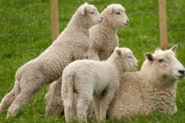 Китай збільшить поголів'я овець, щоб компенсувати брак свинини