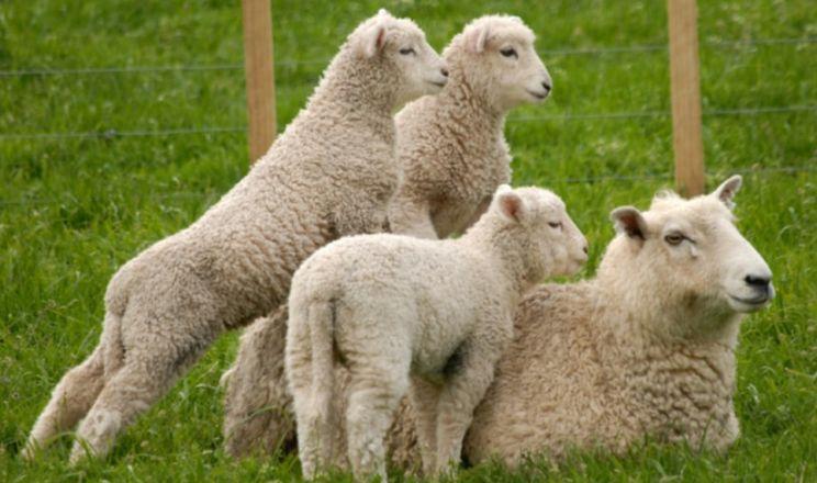 Поголів'я овець і кіз у І кварталі скоротилося на 5,6%
