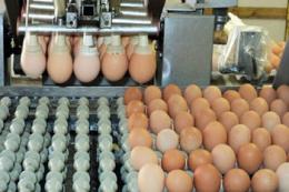 Експорт яєць у І півріччі скоротився на 18%