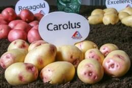 Agrico представив нові сорти картоплі