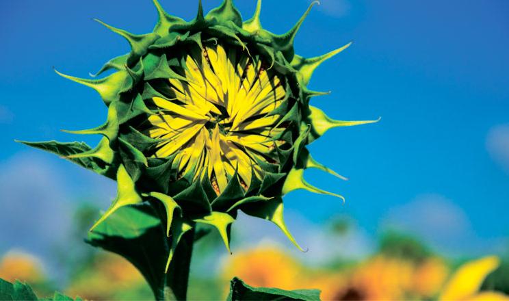 Крокуємо до стабільних і високих урожаїв соняшнику