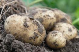 Картоплярство в Молдові страждає від посухи та імпорту