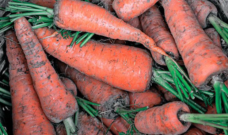 Парша звичайна на моркві